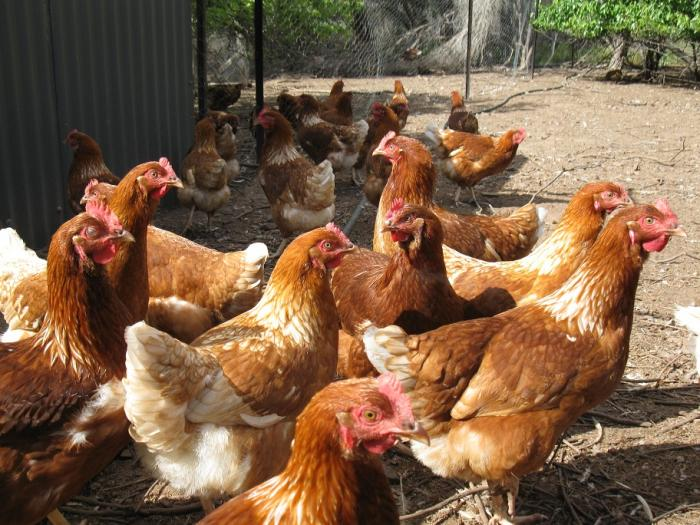 Lohmann Brown Pullets